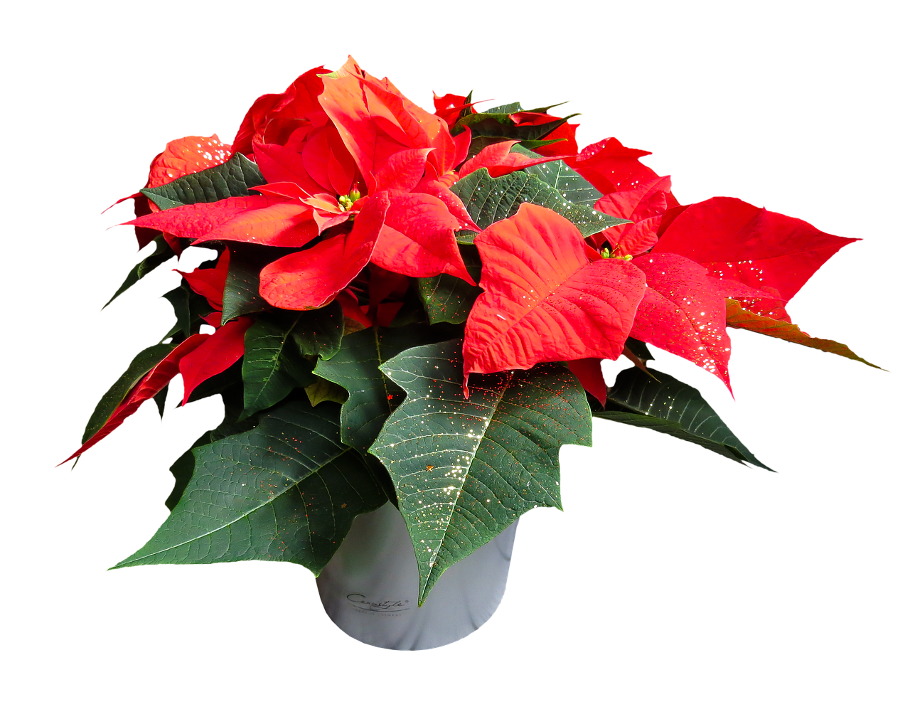 Božićna zvezda